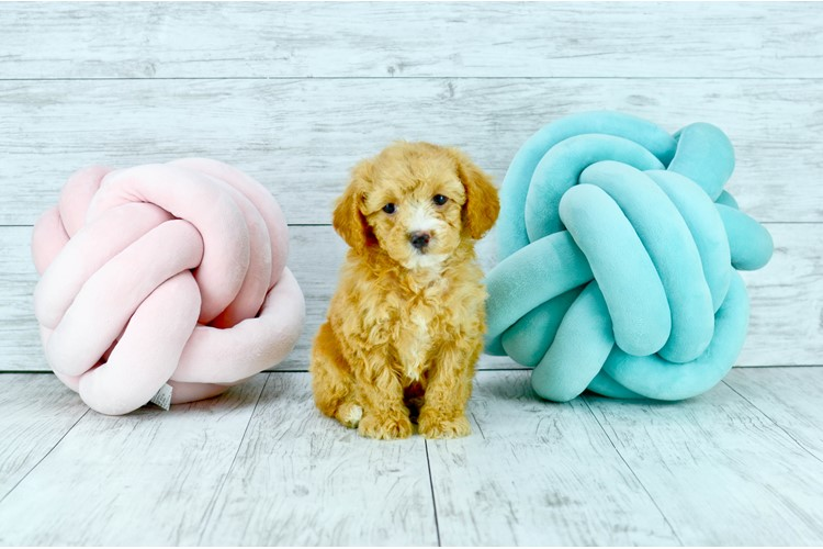 Madison Cavapoo puppies for sale in Florida Puppy